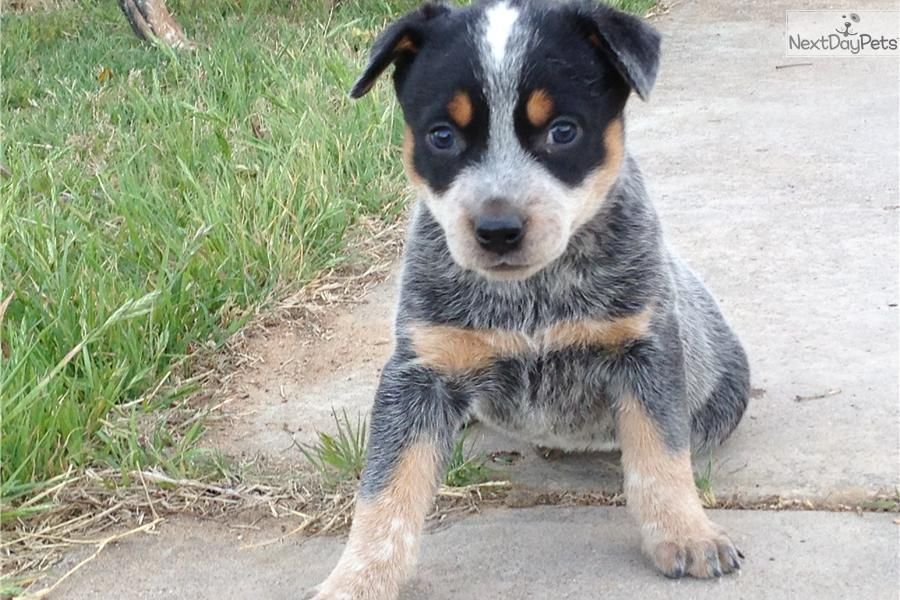 Australian Cattle Dog Blue Heeler For Sale Australian Cattle Dog Blue Heeler Cattle Dog Dogs