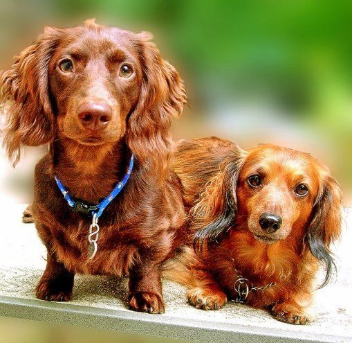 Two Gorgeous Coloured Dachshund Dogs Dachshund Weenie Dogs Dogs