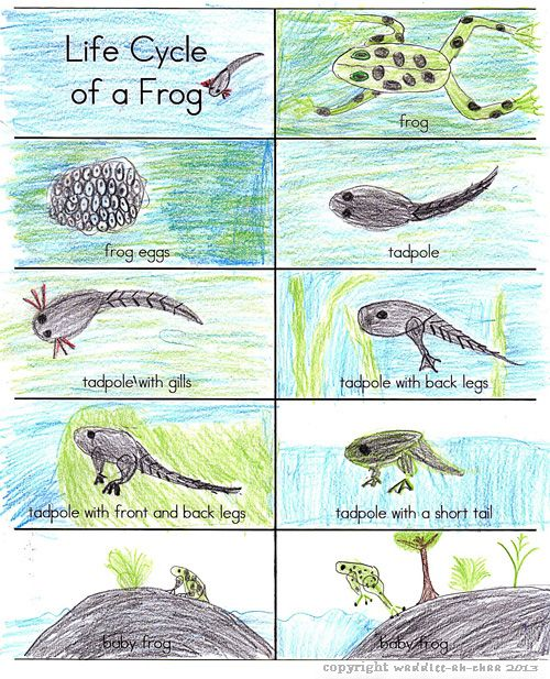 Life Cycle of a Frog FREE printable cards   FREE printables for ...