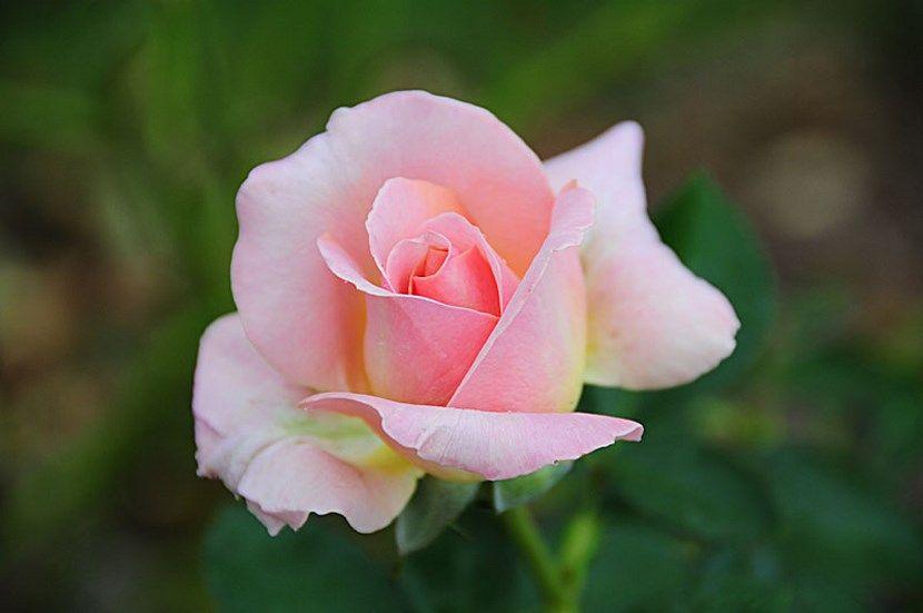 La hermosa rosa de té - http://www.jardineriaon.com/la-hermosa-rosa-de-te.html