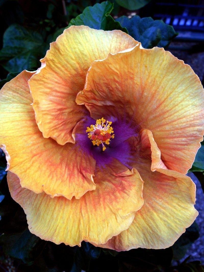 Moorea Hibiscus Spanish Teen Re Hibiscus Alle Arten