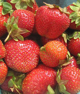 Strawberry Camarosa All Fruit At Burpee Com Fruit Plants Strawberry Strawberry Plants