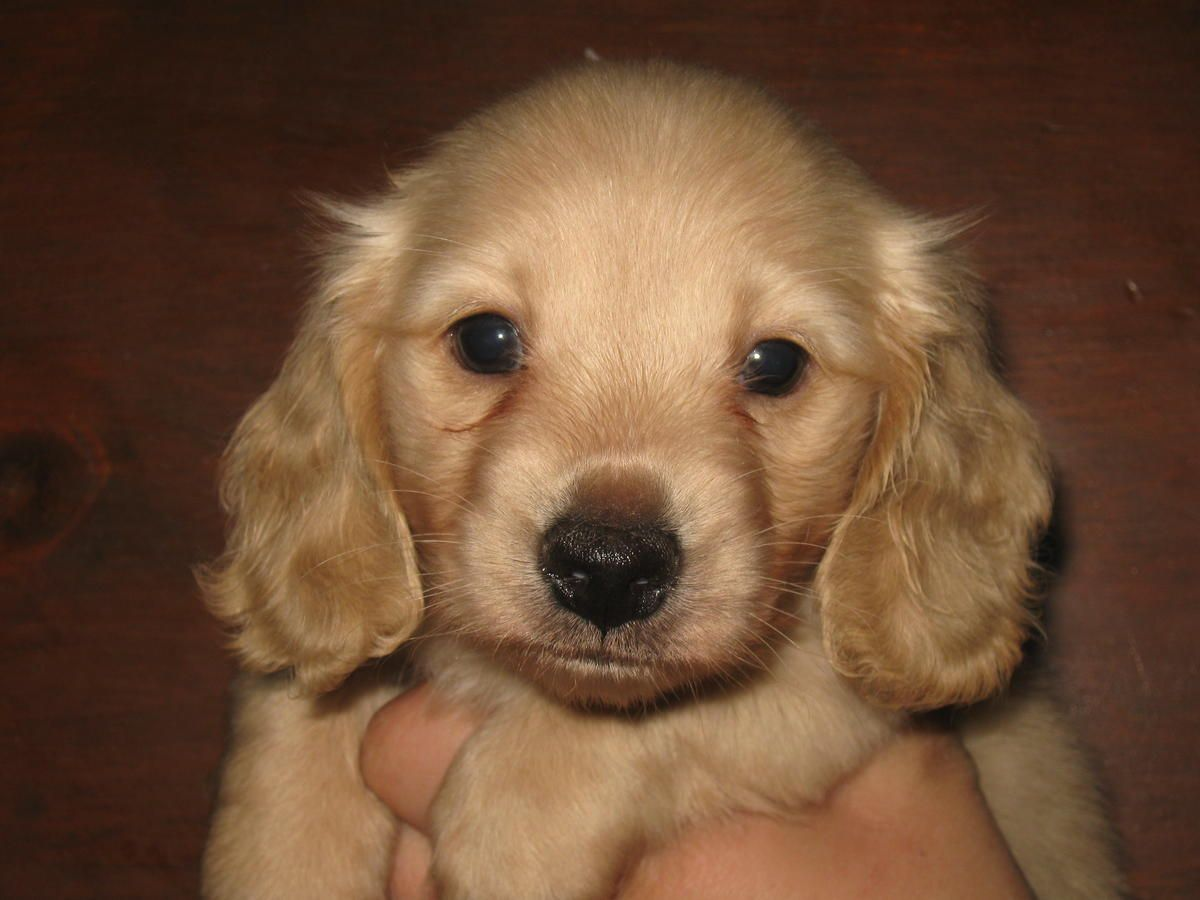 We Have Beautiful English Cream Longhaired Miniature Dachshund Pups Description From Hoobly Com I S Miniature Dachshund Golden Retriever Miniature Dachshunds