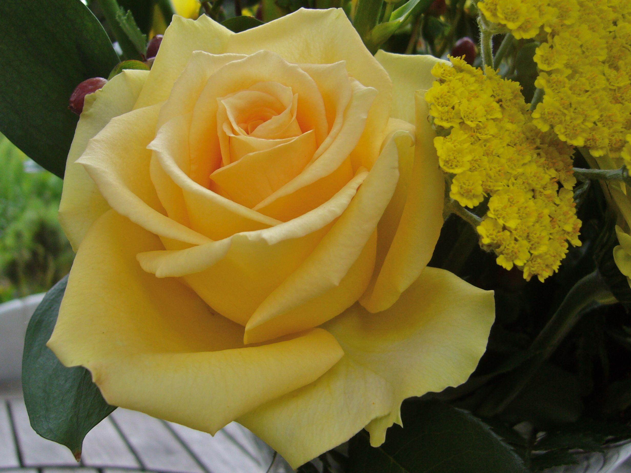 Rose blooming in zaffelare belgium in july photo wvc rosen