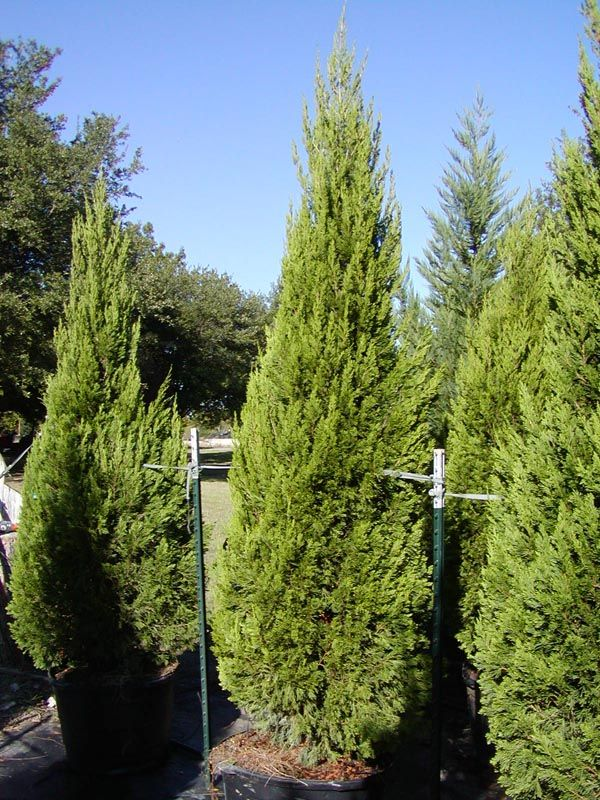 30 gal spartan juniper tree gardens pinterest for Juniper house