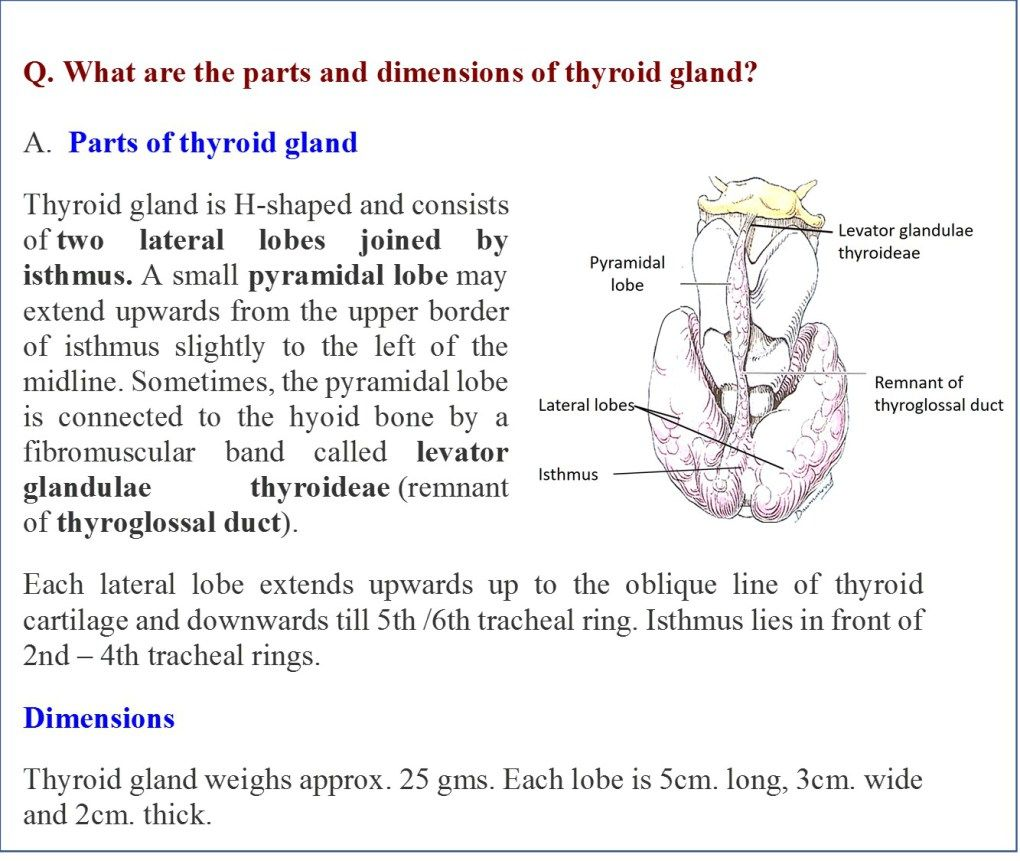 Parts And Dimentions Of Thyroid Gland Thyroid Gland Gland Thyroid