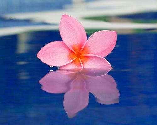 Floating Plumeria Blue Water Plumeria Flower By Breemadden