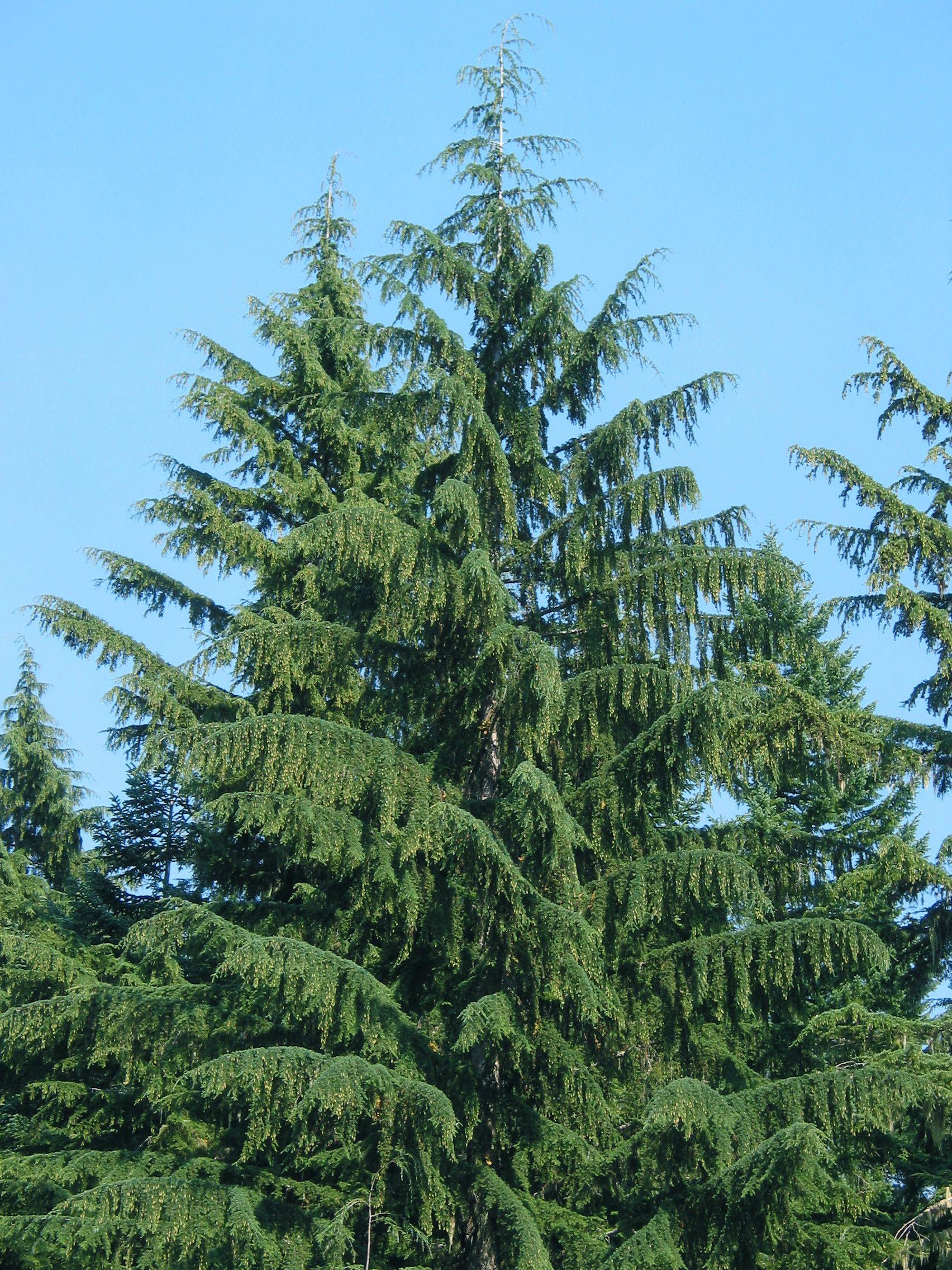 Western Hemlock | Trees | Pinterest | Westerns