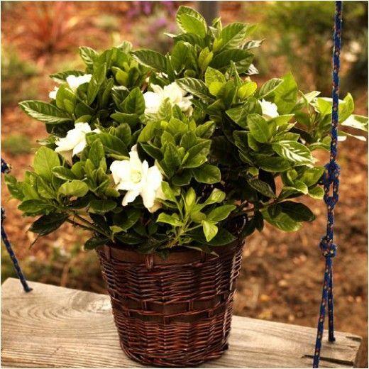 inspiring gardenia house plant. Radicans Gardenia potted  Google Search TesGardeniasPlant INSPIRE MY OUTDOORS