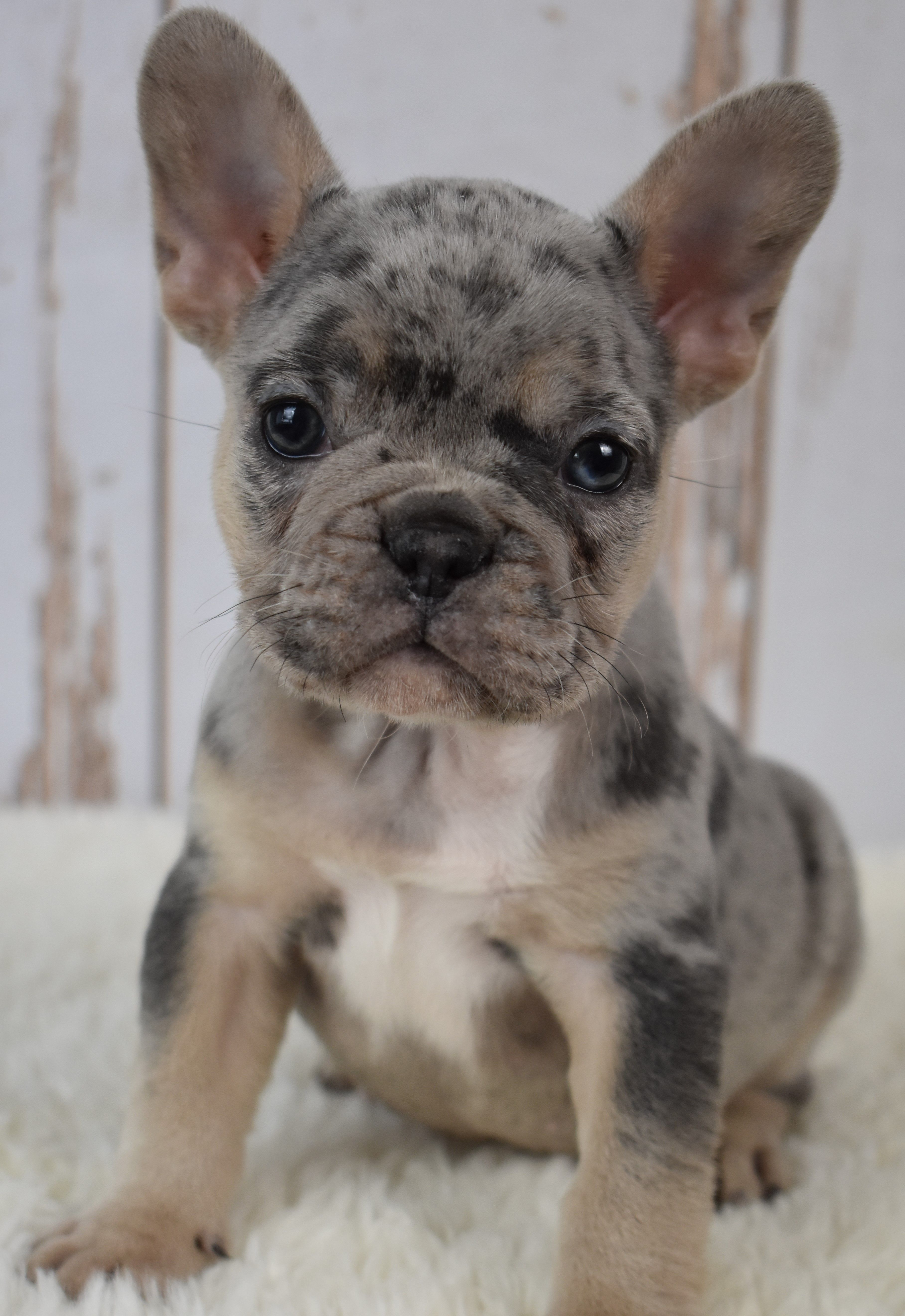 Puppies For Sale French Bulldog Puppies Bulldog Puppies Cute