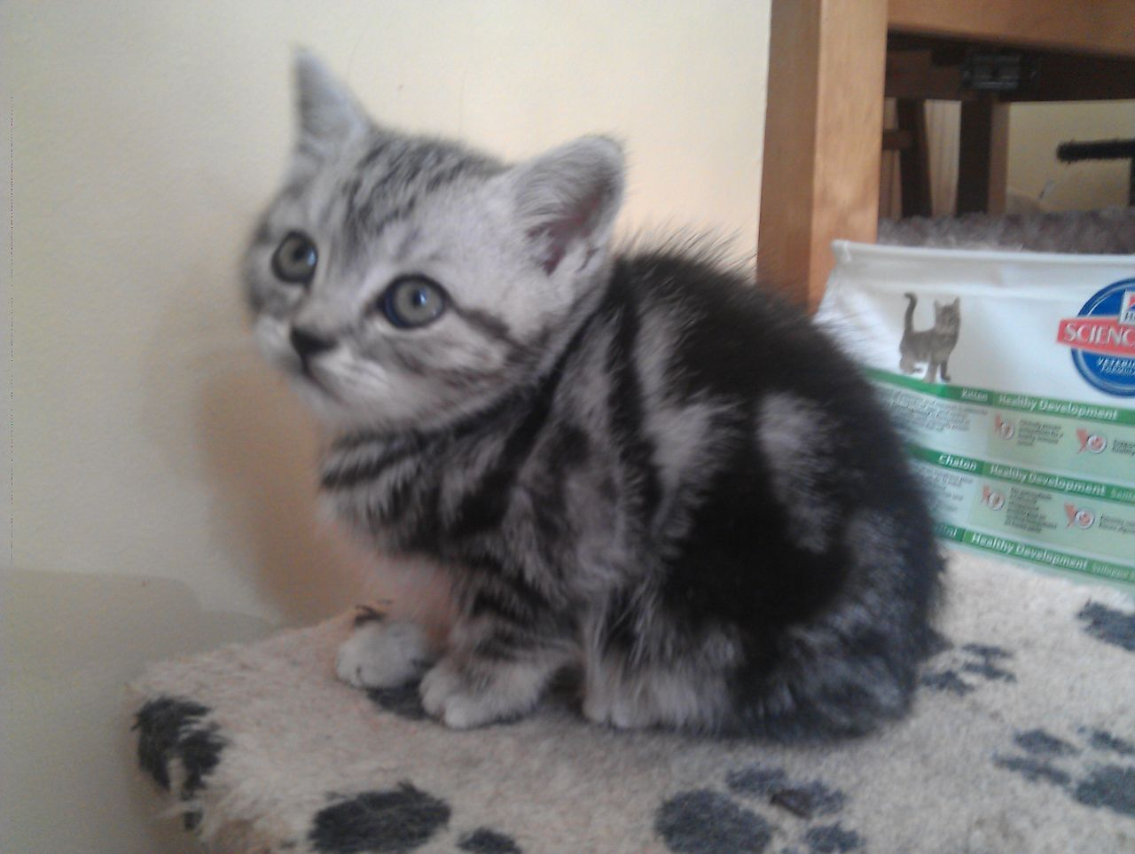 silver tabby kitten | Pedigree British Shorthair Silver Tabby ...