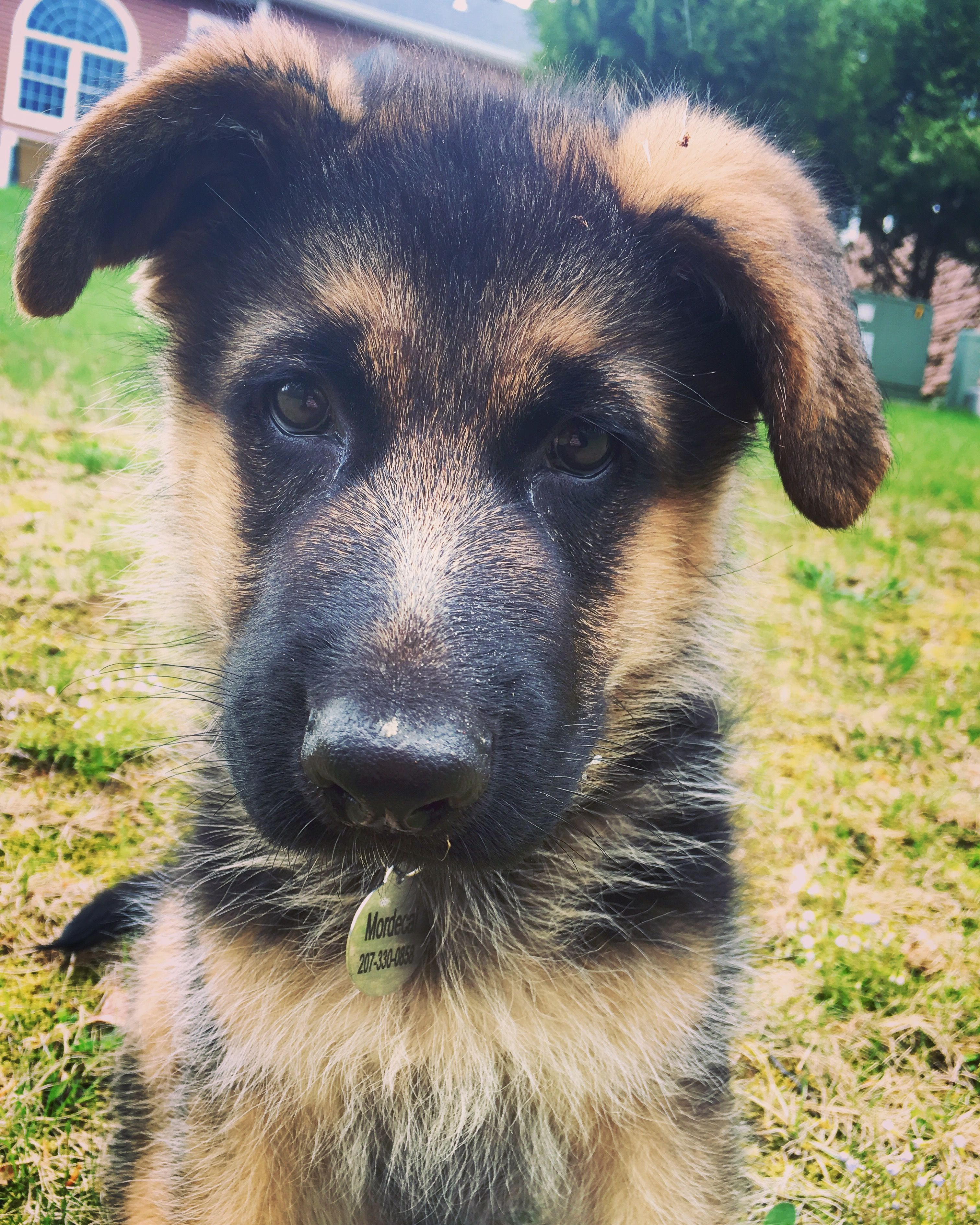 German shepherd puppy. So cute! Gsd puppies, German
