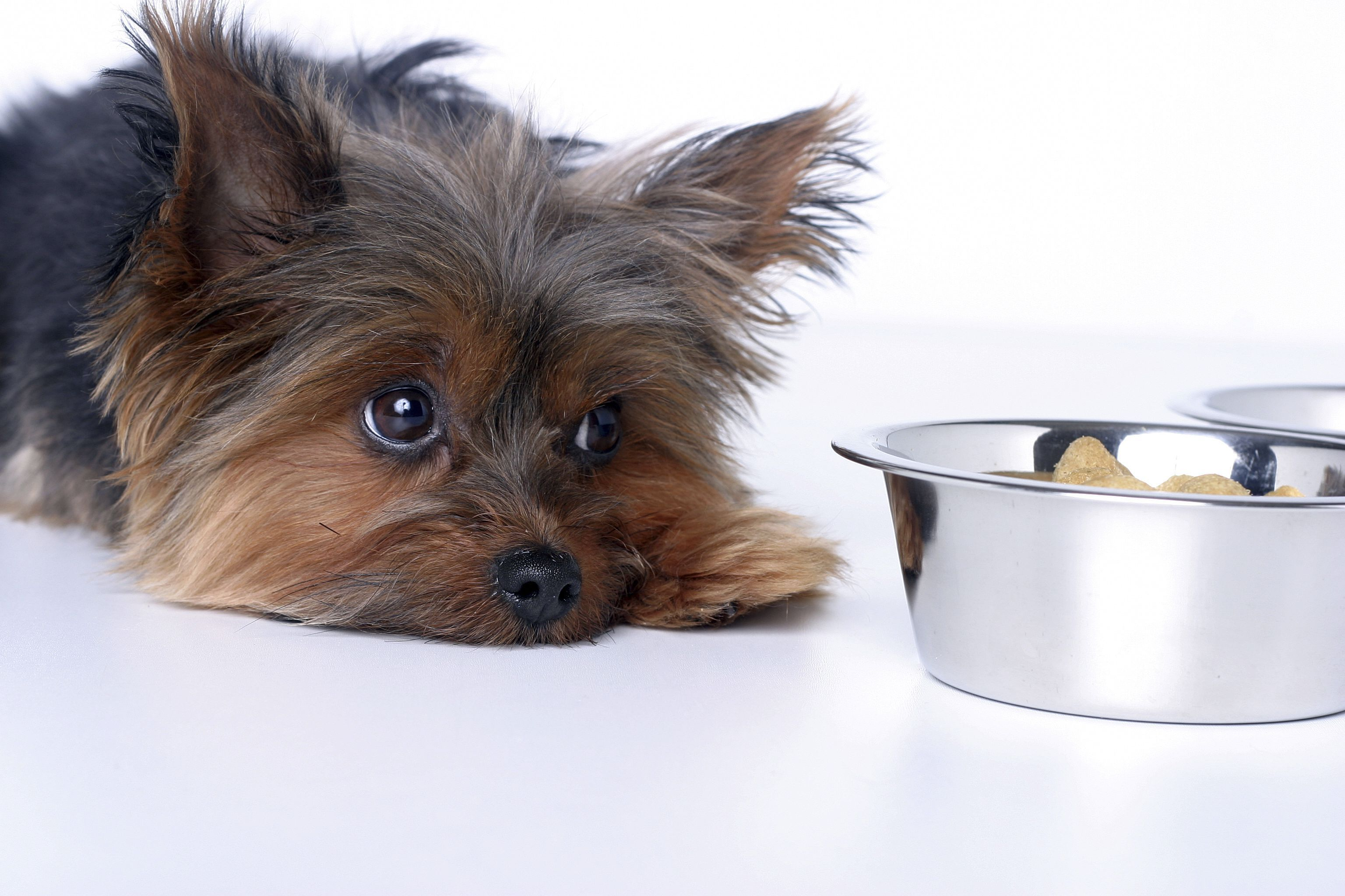 Liver disease in dogs in 2020 canine pancreatitis sick