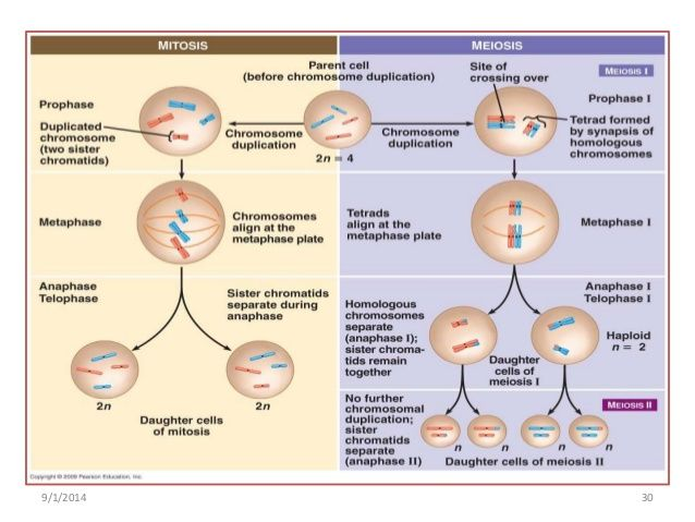 Image result for meiosis and mitosis classroom science pinterest image result for meiosis and mitosis ccuart Choice Image