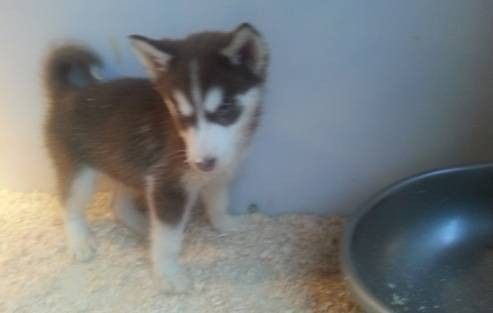 Siberian Husky Puppies Akc With Pedigree Papers Husky Puppy