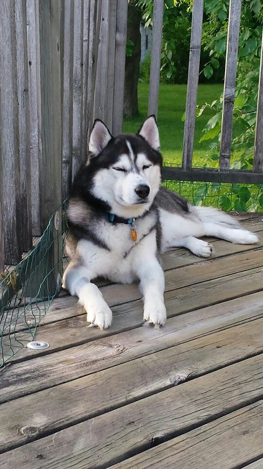 Idea By Lyrkanea On Husky Cute Animals Husky Siberian Husky