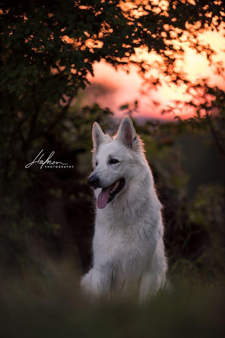 Weisser Schaferhund Im Sonnenuntergang Weisser Schaferhund Hunde Bilder Hunde