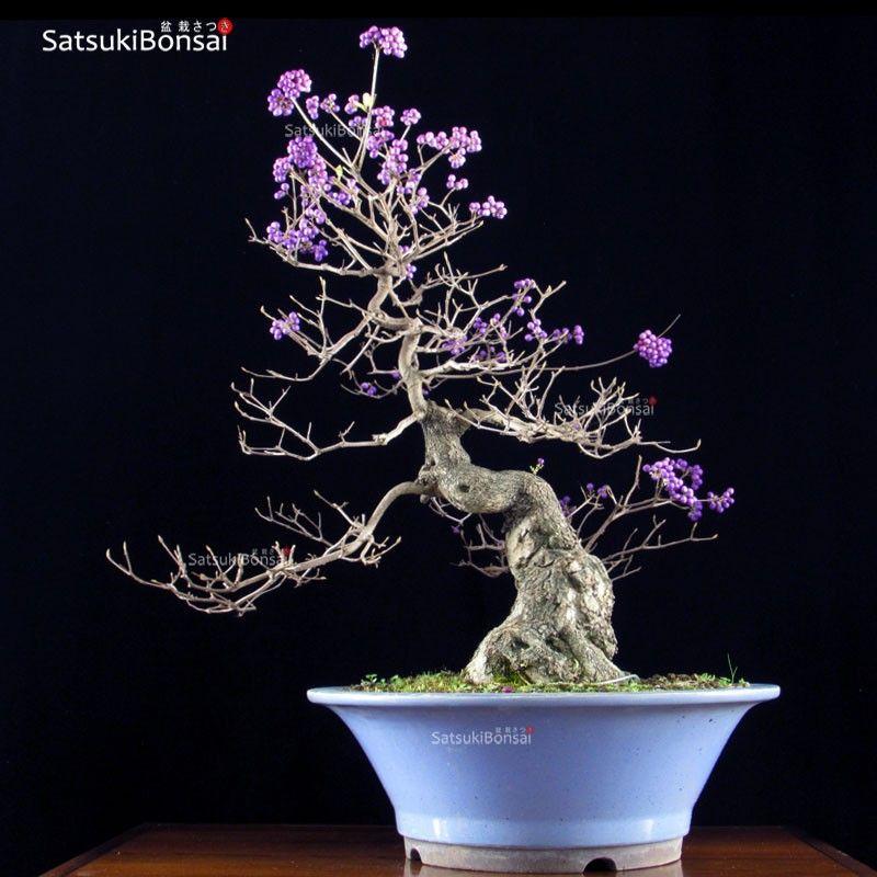 Callicarpa Bonsai Bonsai Tree Bonsai Bonsai Garden