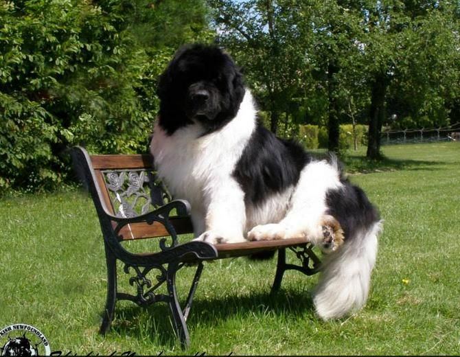 Marvin Looking Fab At 9 1 2 Dogs Newfoundland Dog Pet Dogs