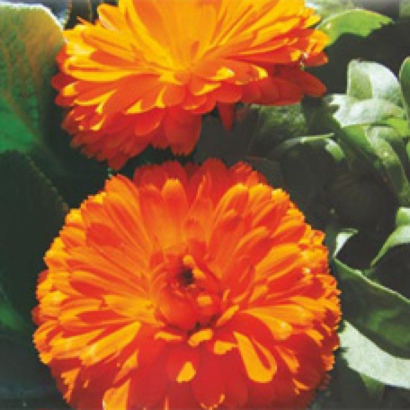 Calendula Bon Mix Winter Flower Seeds Online Average 25 Height 12in 30cm Dwarf