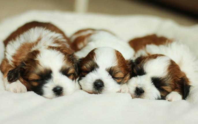 Good Breeder Stonyridge Puppies Puppy Breeds Teddy Bear