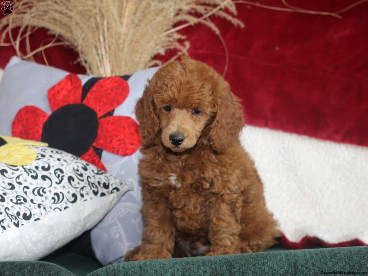 Cameron Miniature Poodle Puppy For Sale In Maryland Poodle
