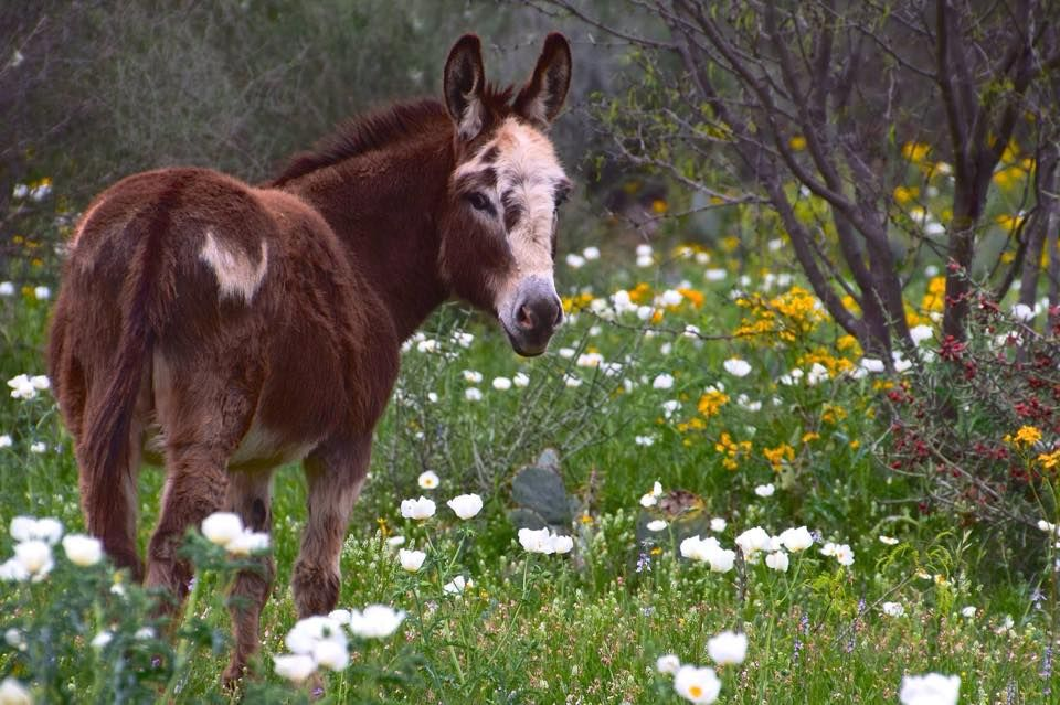 donkey in spring and Texas and wildflowers