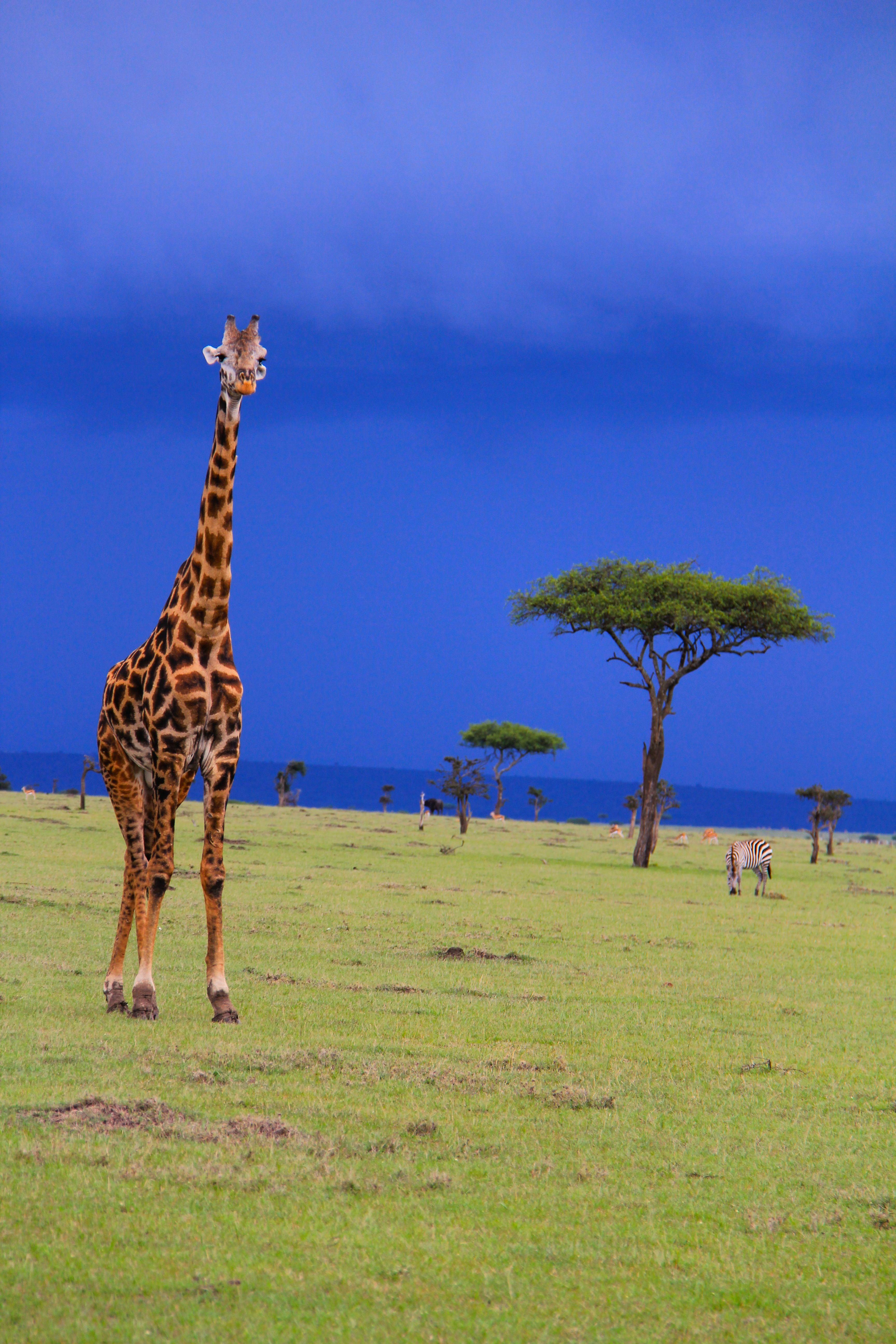 Giraffe maasai mara before the rain storms