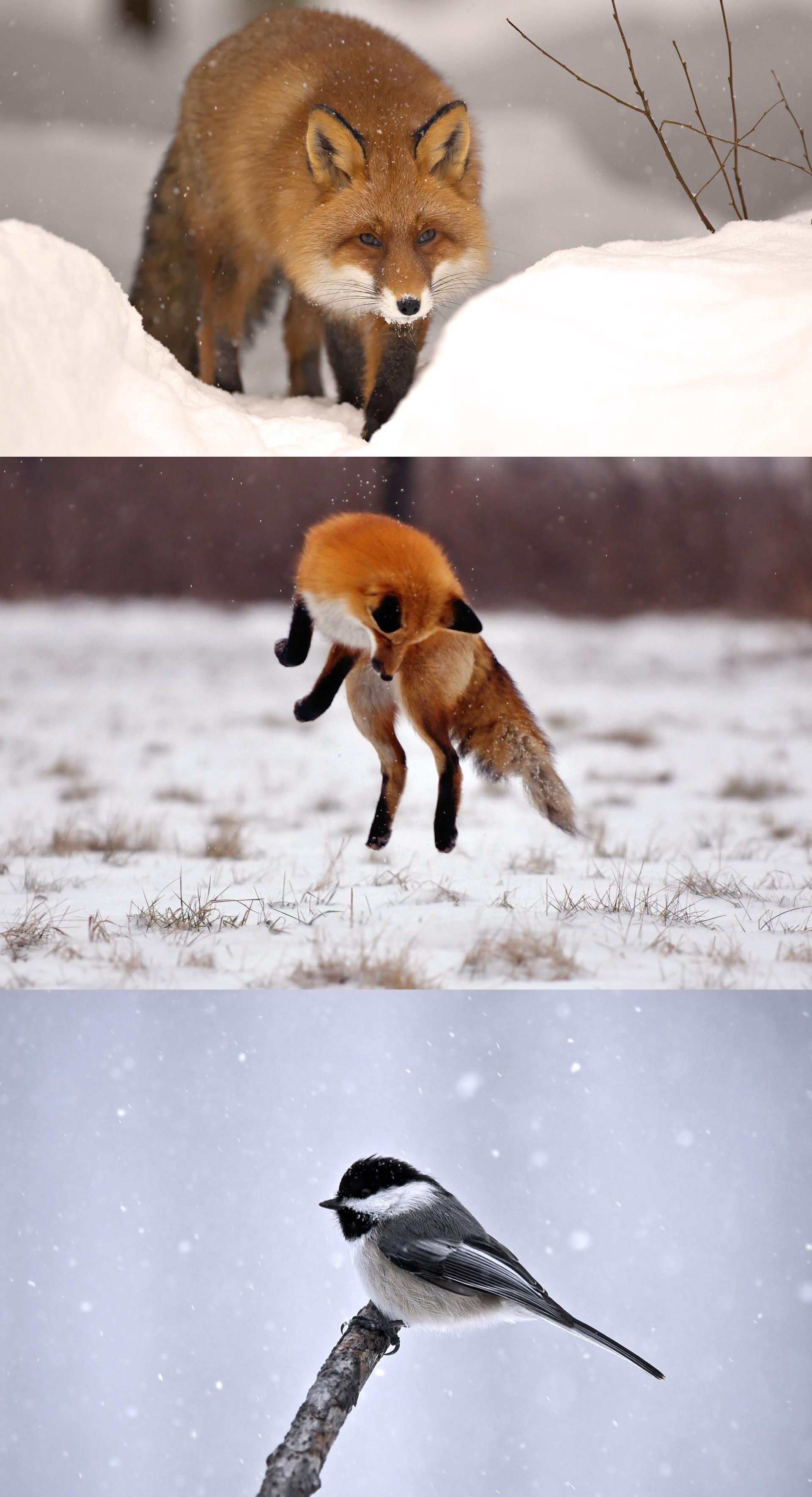 Fox, winter, snow, nature, animal, fox, winter, snow, animal, animal