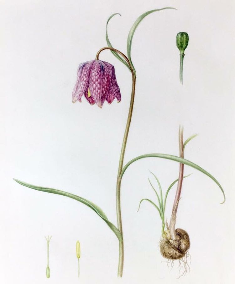 Tips and Techniques - Botanical Art & Artists