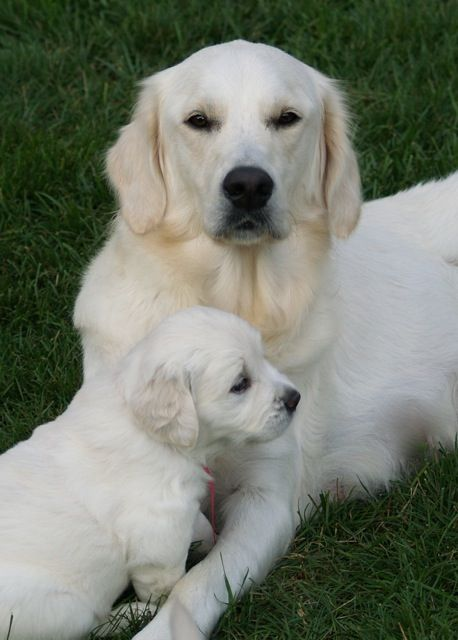 Cream Colored Golden Retriever And Pup Dogs Golden Retriever