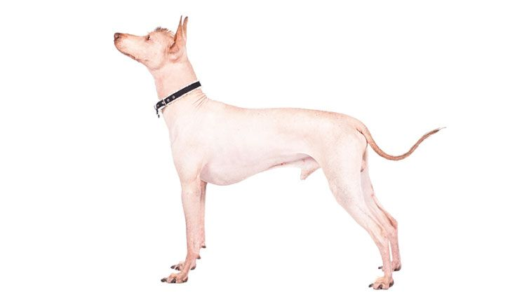 30 Small Hypoallergenic Dogs That Don T Shed Dogs Small Family Dogs Dog Breeds That Dont Shed