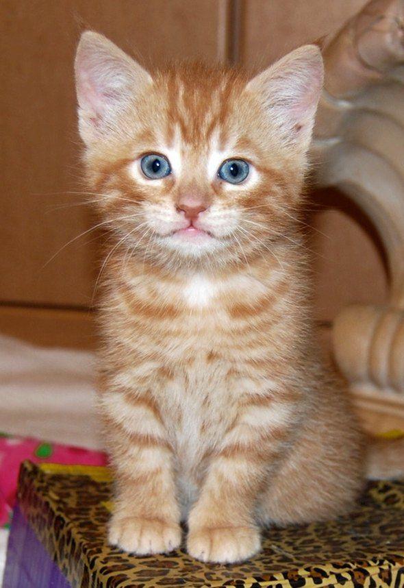 Pin by Lisa Bradshaw Daugherty on Cute Tabby kitten