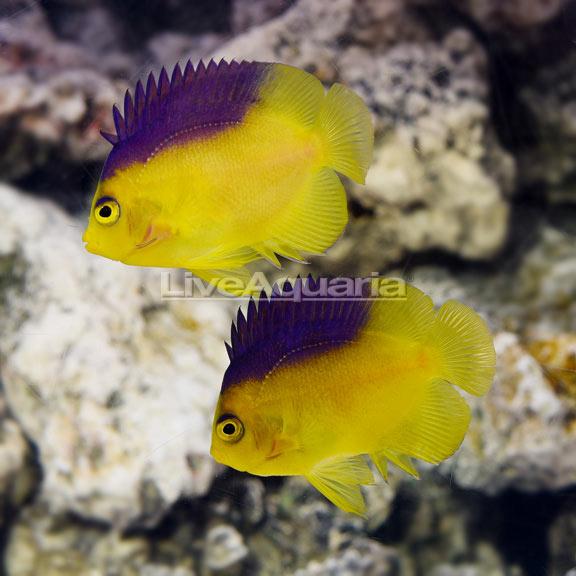 Liveaquaria Centropyge Colini Fish Pet Angel Fish Pets