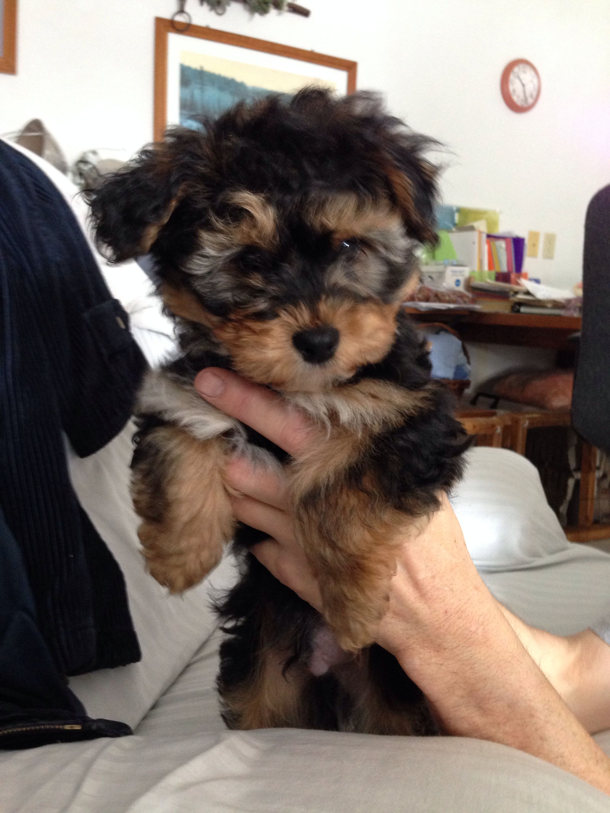 Yorkie Bichon Mix Puppy My Lil Bella Boo Looked Just Like This As