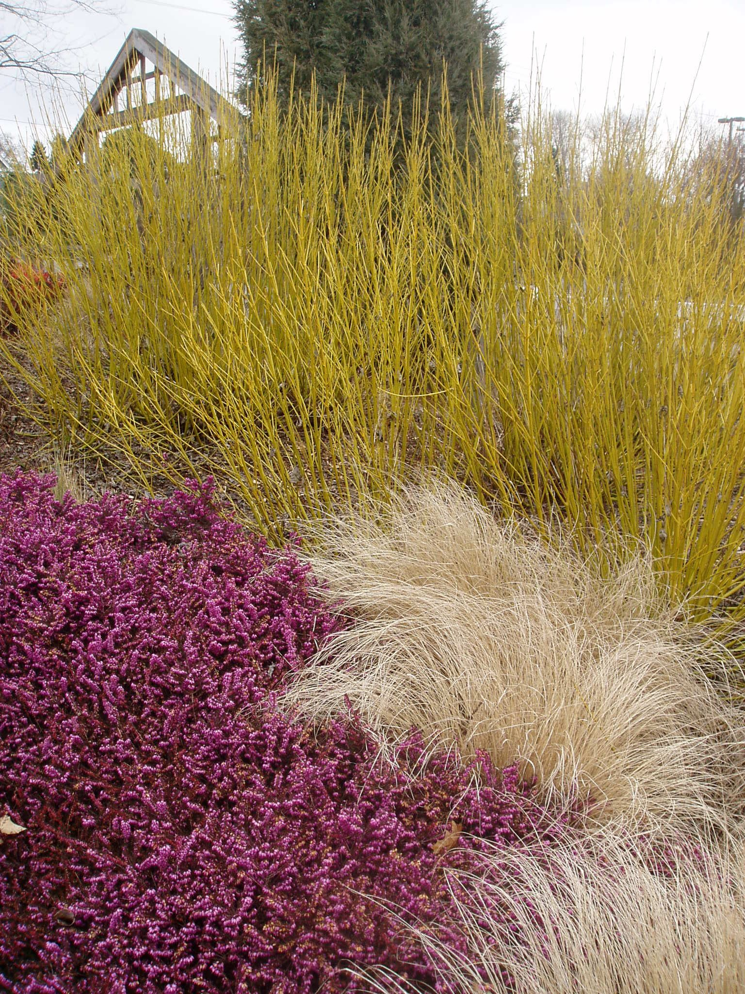 yellow twig dogwood red barberry grass winter garden