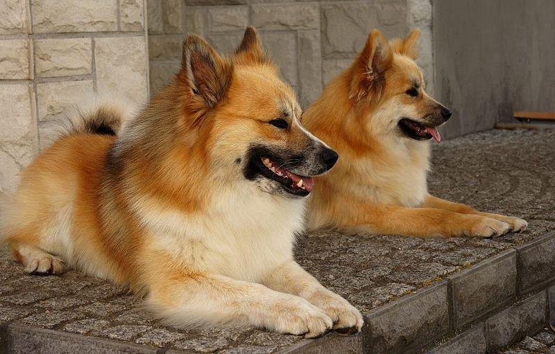 Great Icelandic Sheepdog Canine Adorable Dog - c94785bd580fa5829194385a93ffe124  Collection_656698  .jpg