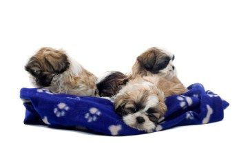 Shih Tzu Informaton Center Puppy Care Puppy Care Shih Tzu Puppy Shih Tzu Puppy Care