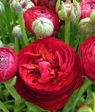 Ranunculus Bulbs Flowering Bulbs At Burpee Com Ranunculus Asiaticus Perennial Plants Flowers Perennials