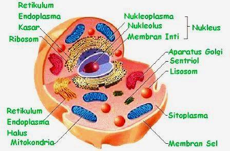 Organel sel hewan fungsi struktur gambar terlengkap koleksi organel sel hewan fungsi struktur gambar terlengkap ccuart Choice Image