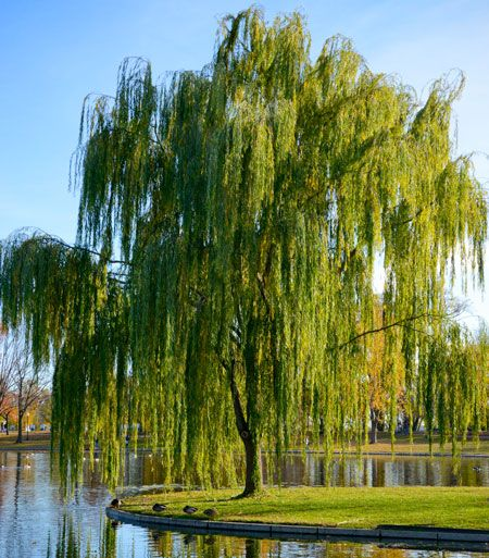 Weeping willow canopy growing tree and fast growing for Fast growing trees