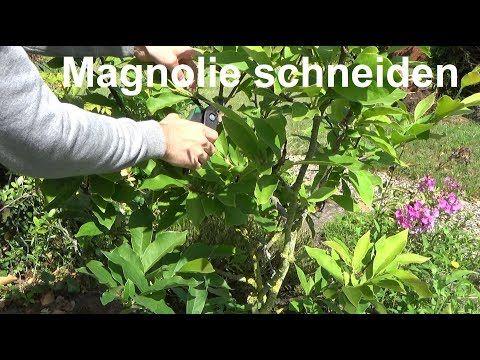 Magnolie Schneiden Magnolie Wann Und Wie Schneiden Bzw Zuruckschneiden Ruckschnitt Magnolie Youtube Magnolien Pflanzen Schneiden