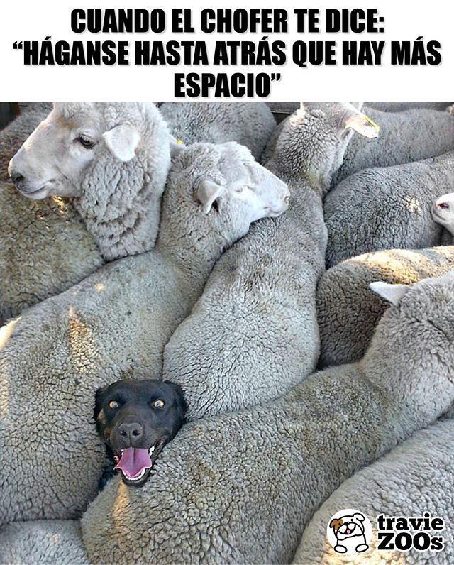 Que Perro Dog Sheep Ovejas Animales Espacio Camion Funny Dog Memes Funny Animals Animal Memes