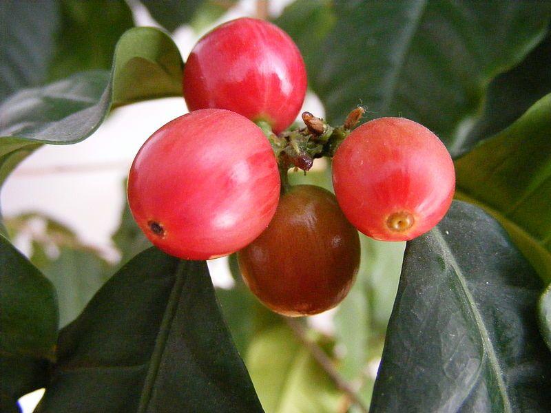 Coffee Berries Coffee Plant Coffee Tree Coffee Type