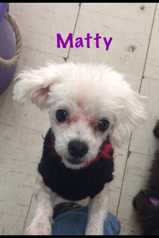 Adopt Matty On Maltese Dogs Little Dogs Dogs