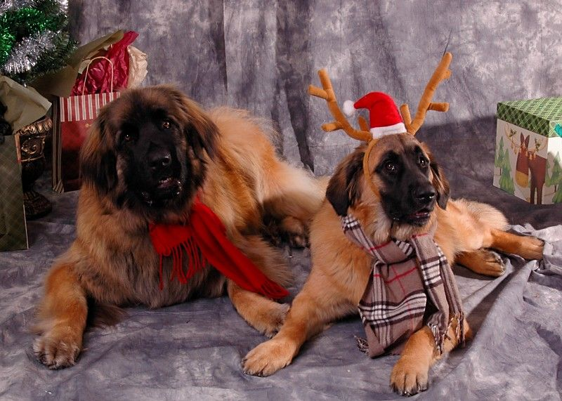 Reindeer   Beautiful dogs, Animal quotes, Leonberger