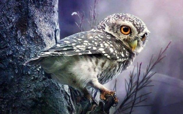 Owl... Coruja...