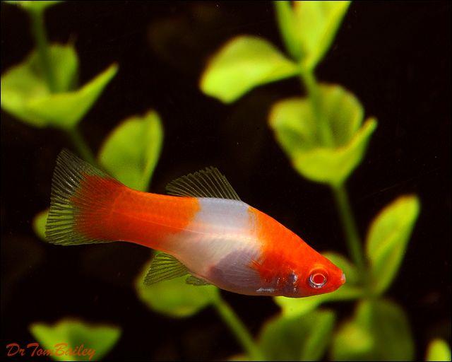 New Pet Fish Talk Show Pet Fish Aquarium Fish Platy Fish