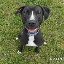 Adopt Rudy On Pitbull Terrier Pet Adoption Dog Pounds