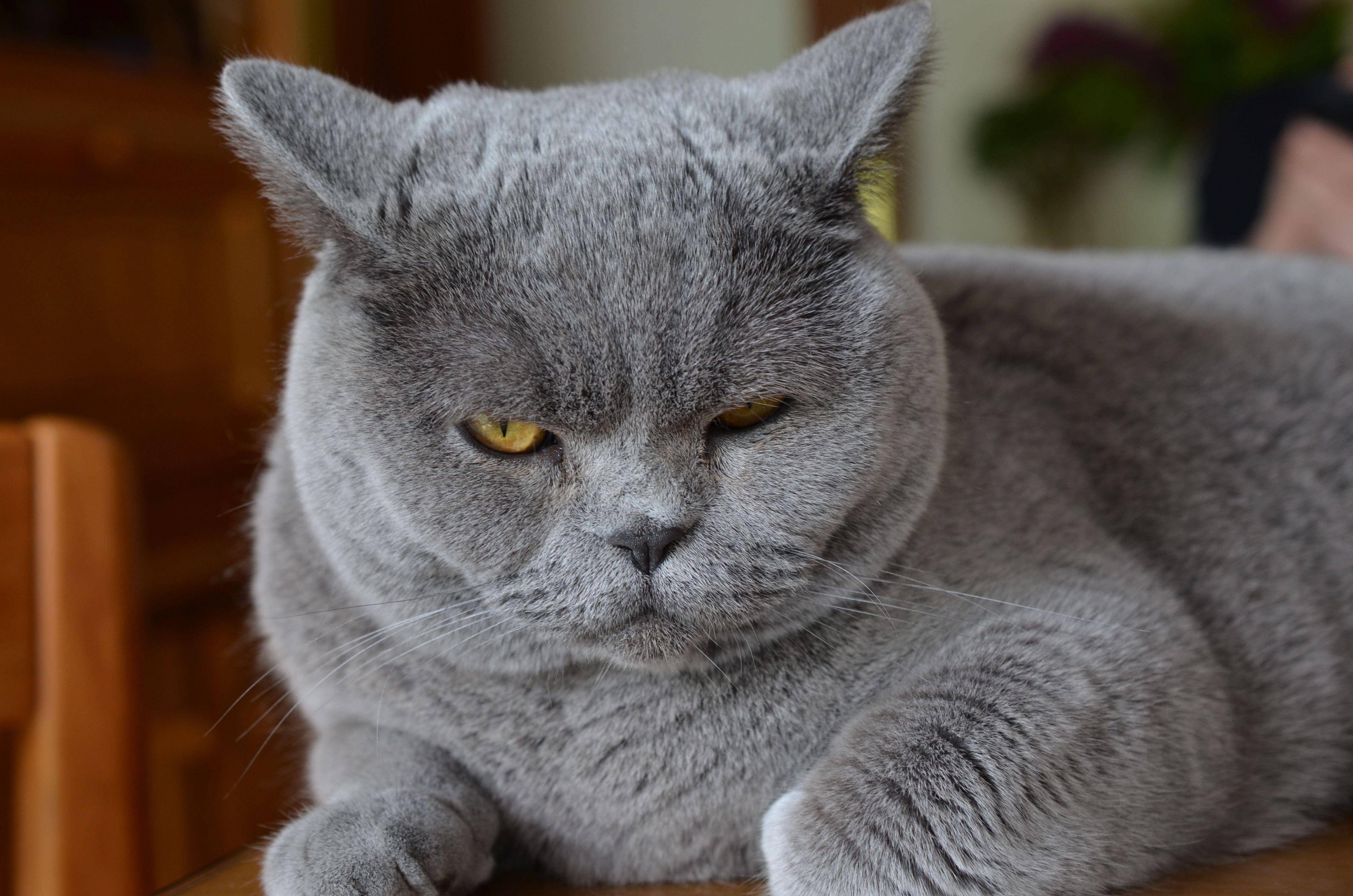 British Shorthair Cat Extremely Soft British Shorthair Grey